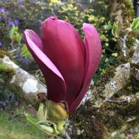 Magnolia lilliflorum ONeill