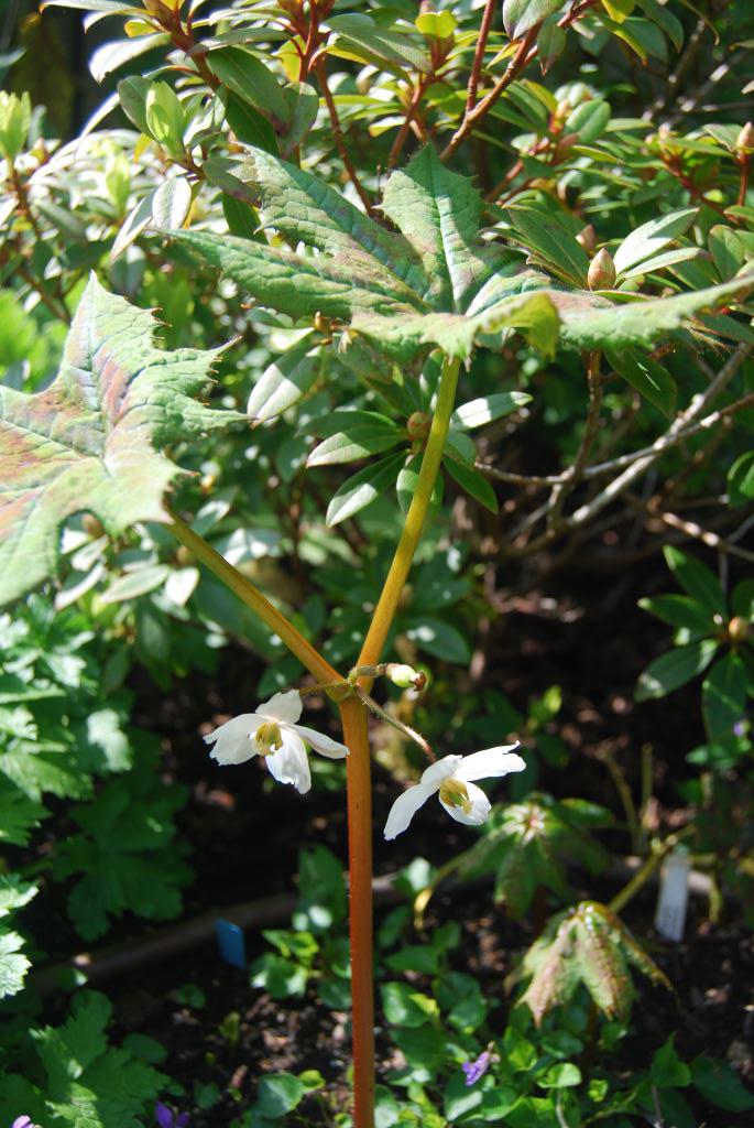 Podophyllum-aurantiocaule