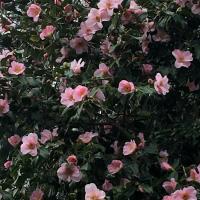 Camellia x JC Williams