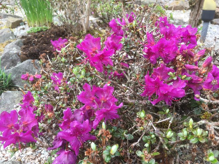 R. saluenense ssp. chameunum