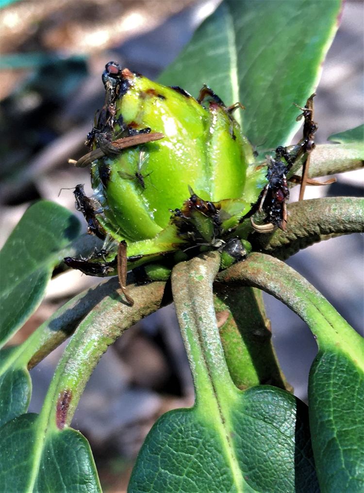 R. whightii sticky flower-bud