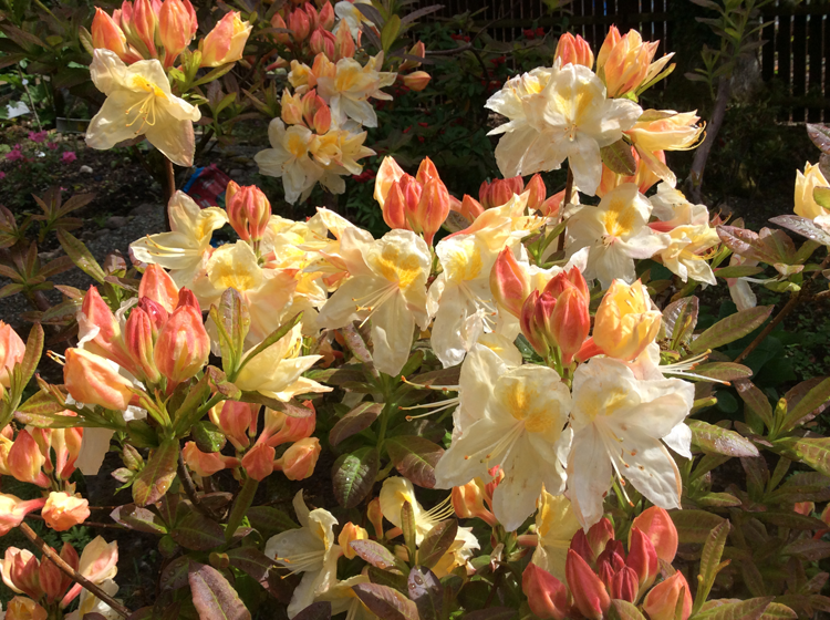 Unknown deciduous azalea but very attractive in bud flower and autumn colouring at least 30 Years old now and has tolerated moving several times.
