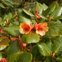 R. viscidifolium (from Glenarn)