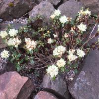 R. anthopogon  ssp. hypenanthum