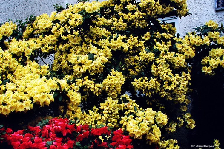 R. Hotei (yellow) and R. repens