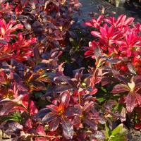 Autumn colour in deciduous azalea
