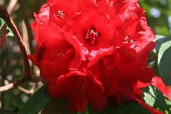 R. subanseiense