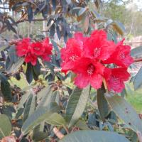 R. arboreum (from Glenarn)