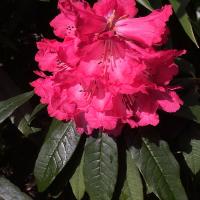 R arboreum ssp. cinnamomeum
