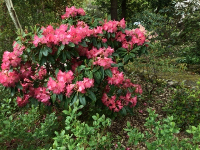 Rhododendron Not Named