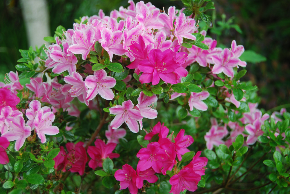 Azalea unknown with 2 kinds of flowers