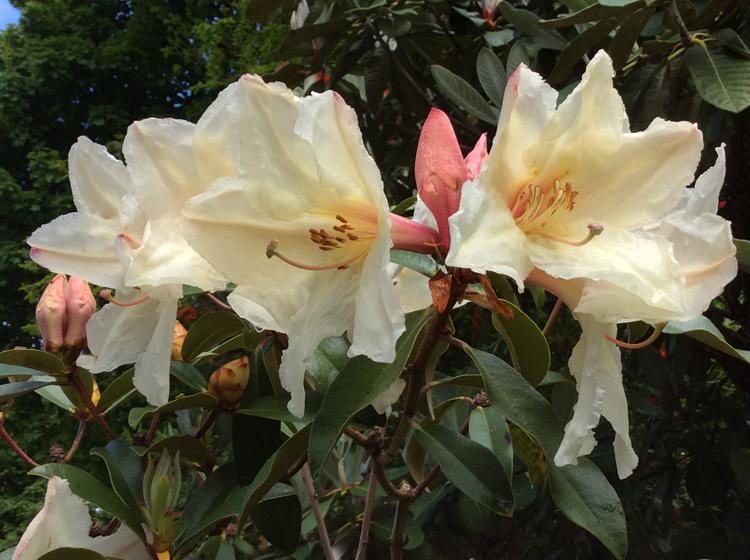 R maddenii (polyandrum) creamy-white Gigha form