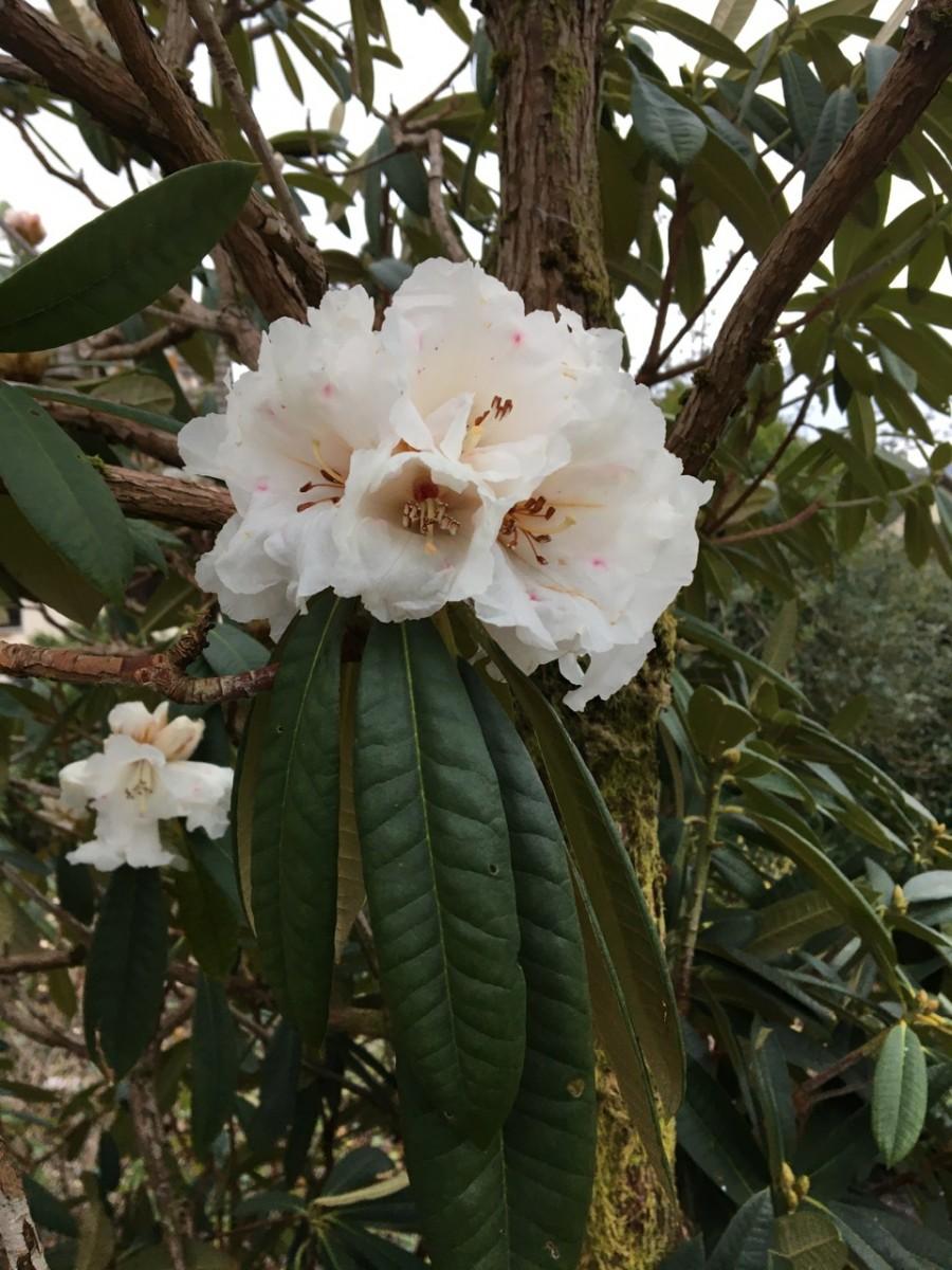 R. arboreum album