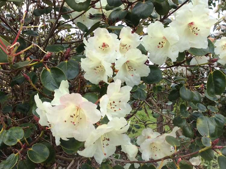 Rhododendron unknown x