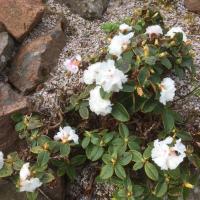 R. cephalanthum ssp. platyphyllum