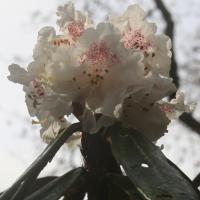 R. lanatoides 1st flower BV Mar2020