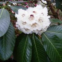 Rh. macabeanum