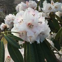 R. arboreum f. album