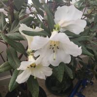 R. liliiflorum
